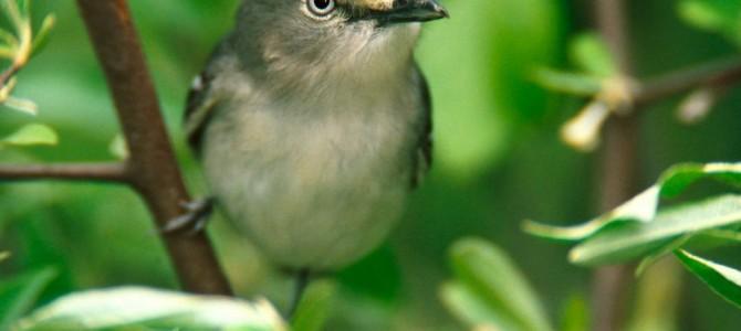 Una nueva app en nuestro movíl permite identificar más de 550 aves