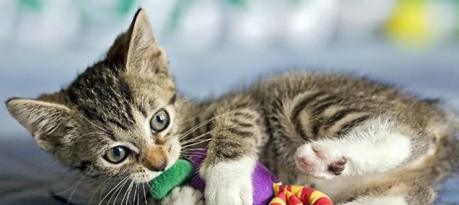 Manual para jugar con un gato en cinco pasos
