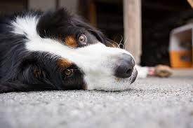 Convulsiones en el perro y en el gato . Información